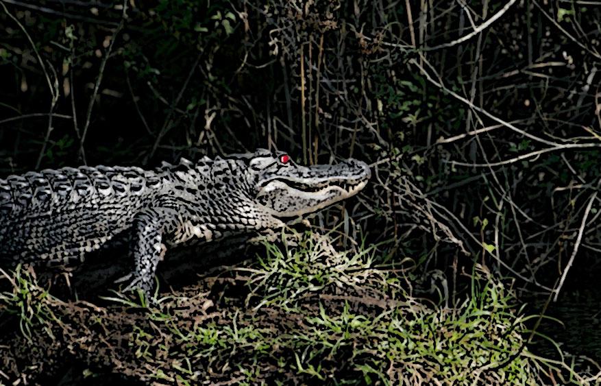 alligator2